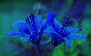 лилии, blue lily, флора