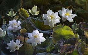 Lotus, Lotus, Flowers, flora