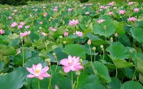 lotus, лотусы, цветы, флора