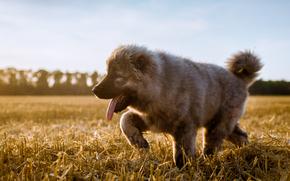 Кавказская овчарка, собака, щенок, язык, поле, жнивьё