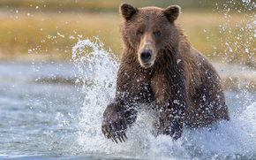 Katmai National Park, Alaska, bear