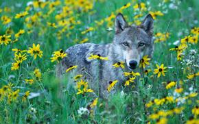 Wolf, волк, хищник