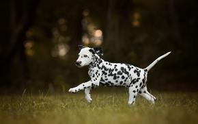 далматин, собака, щенок, прогулка, боке