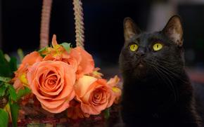 gatto nero, COTE, gatto, Roses, Fiori