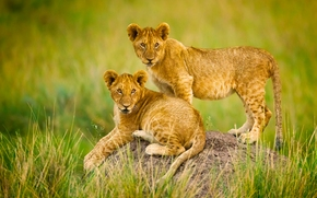 Africa, Lions, Cubs
