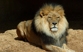 животное, хищник, лев