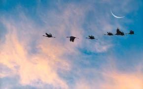sky, Cranes, moon, nature, flight of cranes