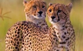 Cheetahs, ghepardo, gattopardo, Africa