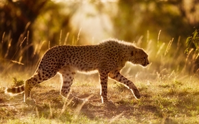 ghepardo, gattopardo, Africa