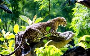 leopard, gattopardo, predatore, bello, intoppo