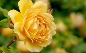 rosa, flor, flora, Macro