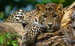 jaguar, wildcat, Snout, view