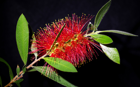 Bottlebrush, Callistemon, Callistemon