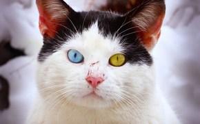 猫, 缋, 眼睛, 异色