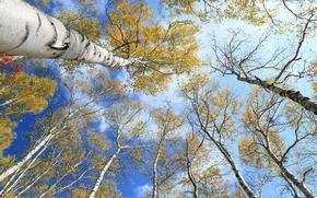 ciel, arbres, Birch, automne, couronne, nature