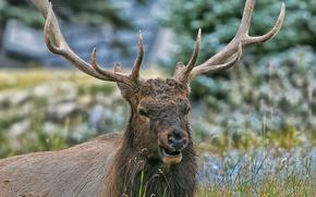 deer, Horns, animals, grass, nature
