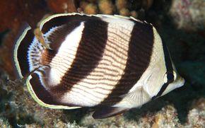 Farfalla a strisce, chaetodon striatus, FISH, sott'acqua, tropicale, barriera corallina, animali