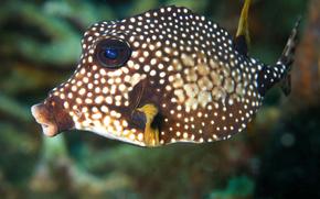 鱼, 椭圆月亮, 水下, 热带, 珊瑚礁, 动物