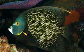 Angelfish, PECES, submarino, animales