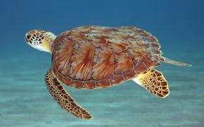 tartaruga di mare, sott'acqua, animali