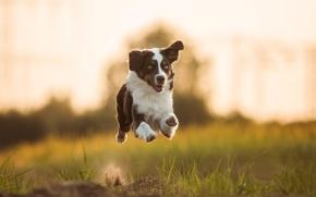 Австралийская овчарка, Аусси, собака, бег, полёт, настроение