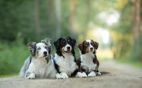 Australian Shepherd, Aussies, Dog, Trinity, trio