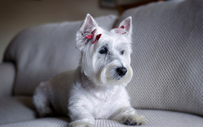 West Highland White Terrier, dog, sofa