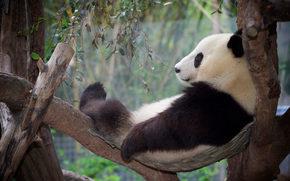 panda, recreación, Relajarse, árbol