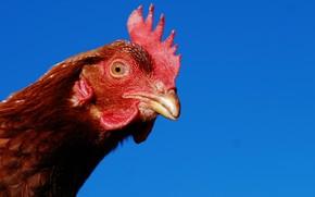 pollo, bellezza, visualizzare, uccello