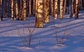 Winter, Schnee, Birch, Bäume, Wald, Natur
