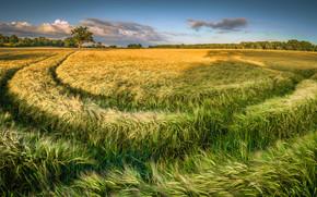 ?rvores, HORIZON, espigas de milho, paisagem, campo