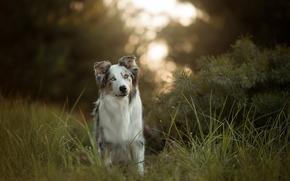 Австралийская овчарка, Аусси, собака, трава