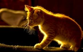 ginger kitten, kitten, Red