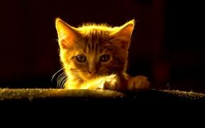 ginger kitten, kitten, muzzle, view