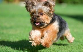 Yorkshire terrier, York, dog, running, grass, lawn
