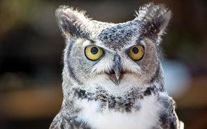 civetta, uccello, occhi enormi, visualizzare