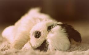 Shih Tzu, cane, cucciolo, bambino