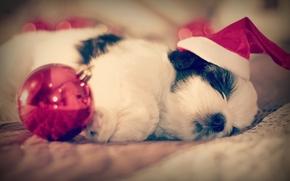 Shih Tzu, cane, cucciolo, traversina, sogno, cap, palla, bambino