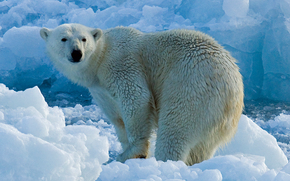 orso polare, orso polare, animali