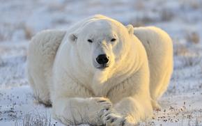 提出, 肖像, 白熊