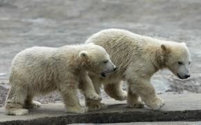 медвежата, polar, bear