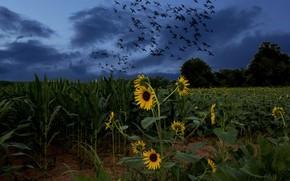 Feld, Sonnenblumen, Vögel, Landschaft