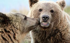 Bears, animals, kiss