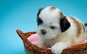 Shih Tzu, cane, cucciolo, bambino, cestino