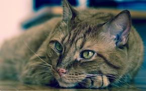 COTE, gatto, museruola