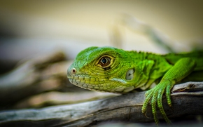 green iguana, iguana, lizard, head