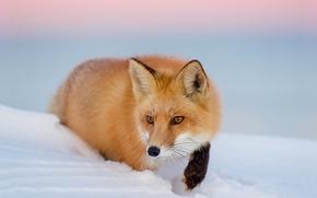 fox, Redhead, nevicata, inverno