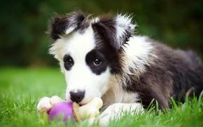 Border Collie, cane, cucciolo, giocattolo