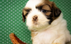 Shih Tzu, dog, puppy, baby