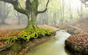 лес, деревья, речка, туман, природа, осень
